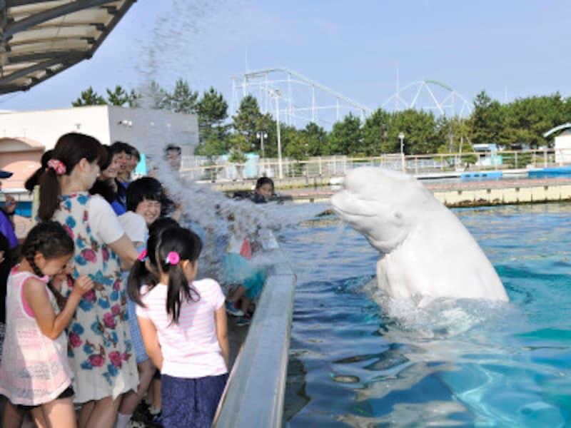 シロイルカによる豪快な水吹きのプレゼント!「スプラッシュタイム」(画像提供:横浜・八景島シーパラダイス)