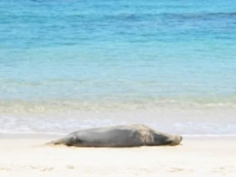 現在1300~1400頭しか生息していないというハワイアンモンクシール