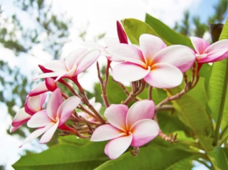 上品な甘い香りがするプルメリアの花
