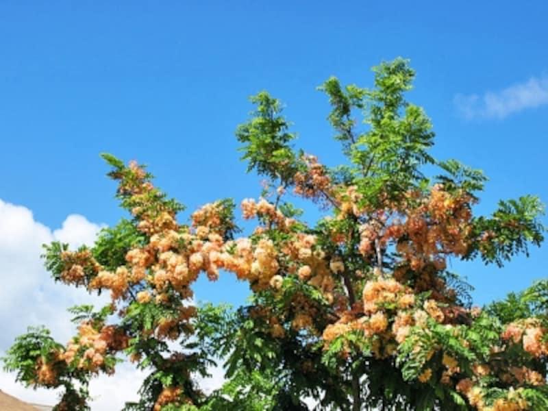 枝いっぱいに咲き乱れるシャワーツリー