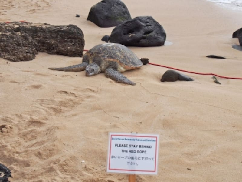ミガメが砂浜にあがると、監視員が赤いロープを張って保護。ノースショアのラニケアビーチにて