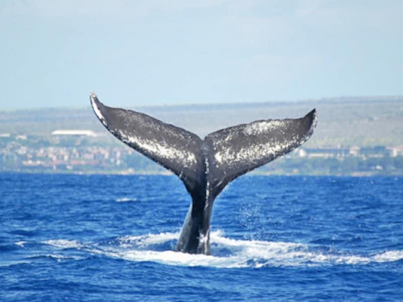 マウイ島西海岸とラナイ島・モロカイ島に挟まれたアウアウ海峡は海が浅く、サメに襲われる心配なく育児ができるそう