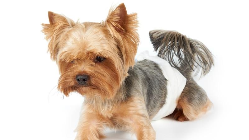 犬用おむつのおすすめ9選|かぶれにくい人気商品は?おむつカバーなども紹介