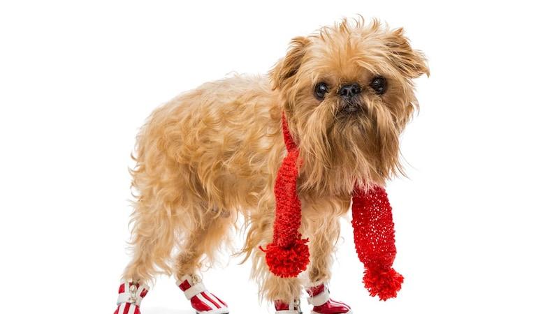 ナックリング対策、老犬の補助に!おすすめの犬用ブーツ・サポーター7選