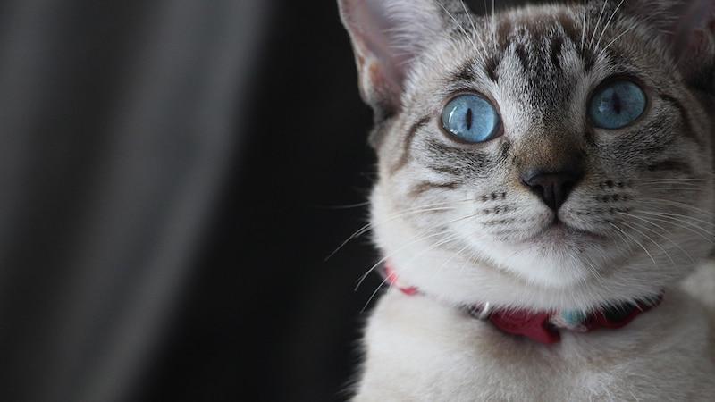 おしゃれな猫の首輪おすすめ15選|手作りやかわいい鈴付きも!安全でストレスフリーな商品を紹介