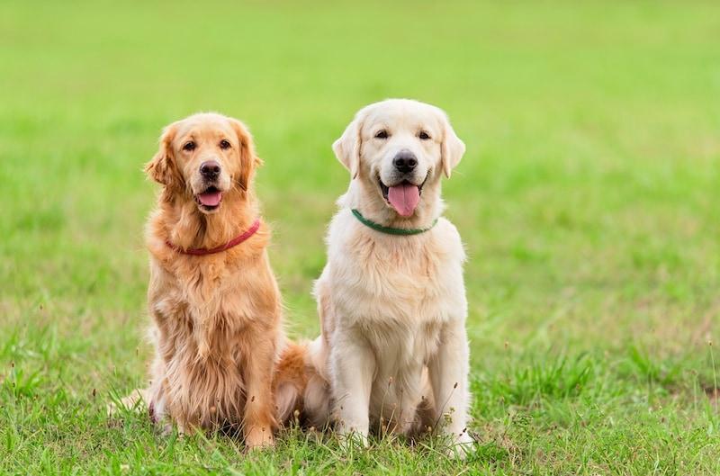 犬の首輪おすすめ人気ランキング10選|大型犬から小型犬まで!オーダーメイドや刺しゅう入りも
