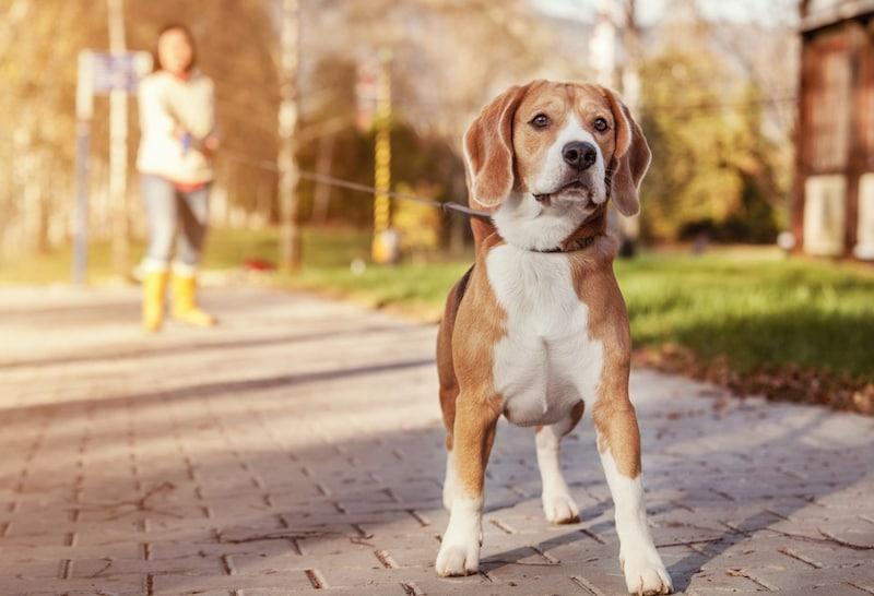 犬用ロングリードおすすめ13選|絡まない・巻き取りができる商品は?大型犬用もご紹介