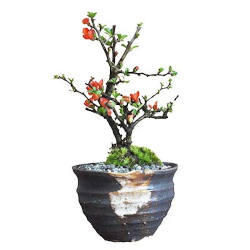 盆栽妙,ミニ長寿梅 藤久作手造り小鉢,50020A654