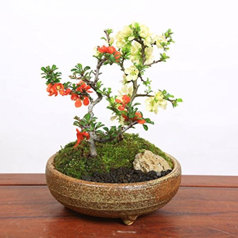 遊恵盆栽,小品盆栽 紅白長寿梅寄せ植え,-