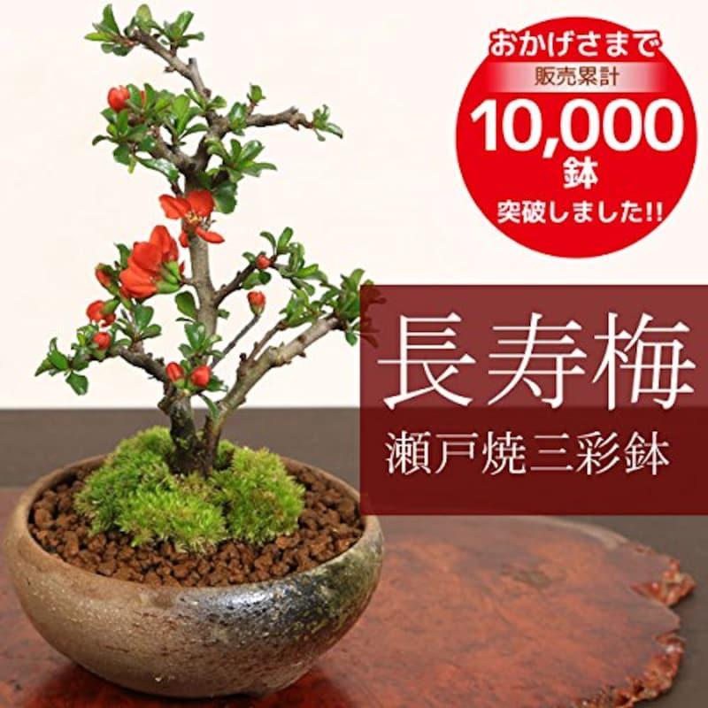 遊恵盆栽,長寿梅(瀬戸焼三彩鉢),-