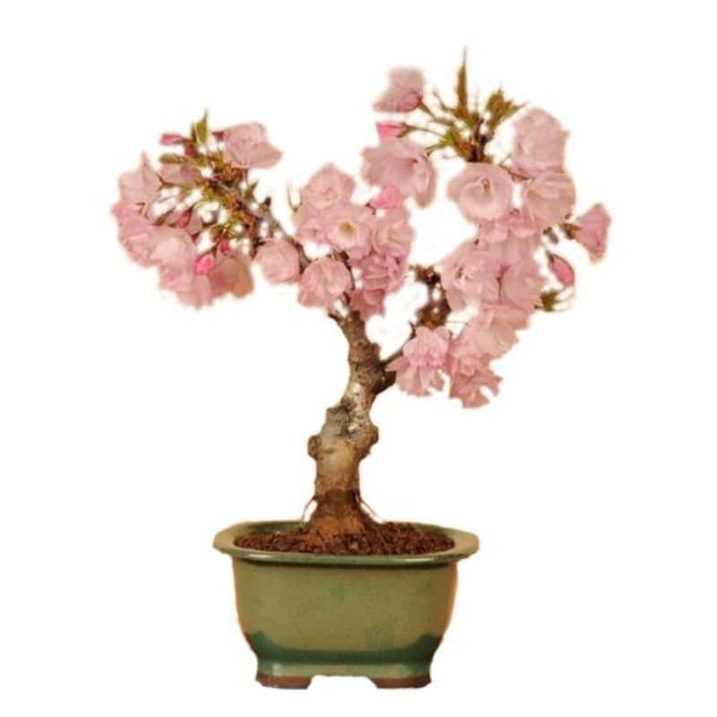 遊恵盆栽,一才桜,-