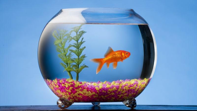金魚鉢のおすすめ人気ランキング14選|おしゃれで飼育しやすいのは?定番のガラス製や渋い陶器製など!