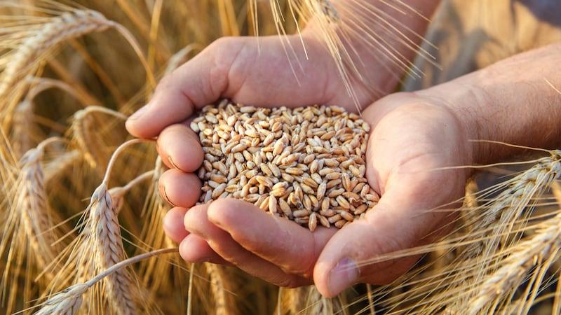 スペルト小麦おすすめ人気ランキング8選|お菓子作りにも