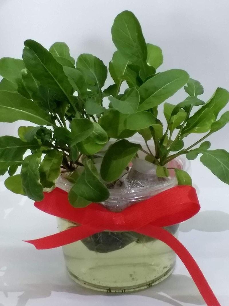 窓際族,水耕栽培キット 窓辺でルッコラ,set-rucola
