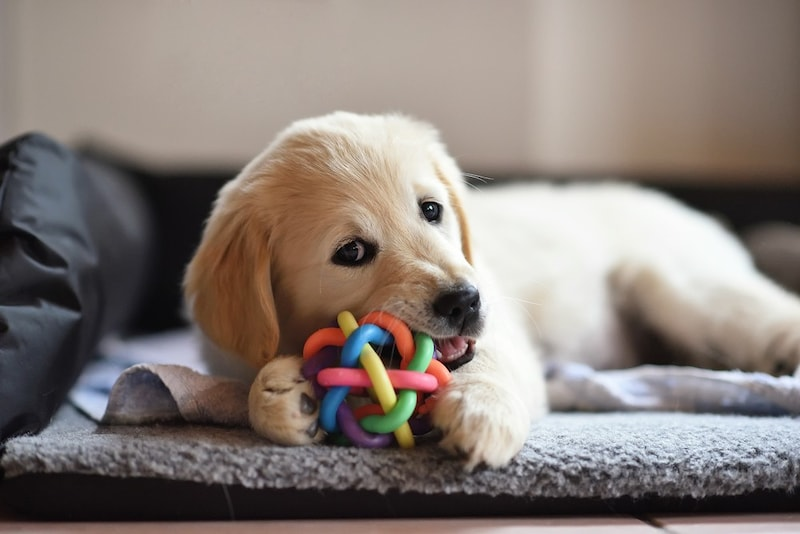 犬用留守番おもちゃの人気おすすめランキング10選|安全で退屈させないものは?