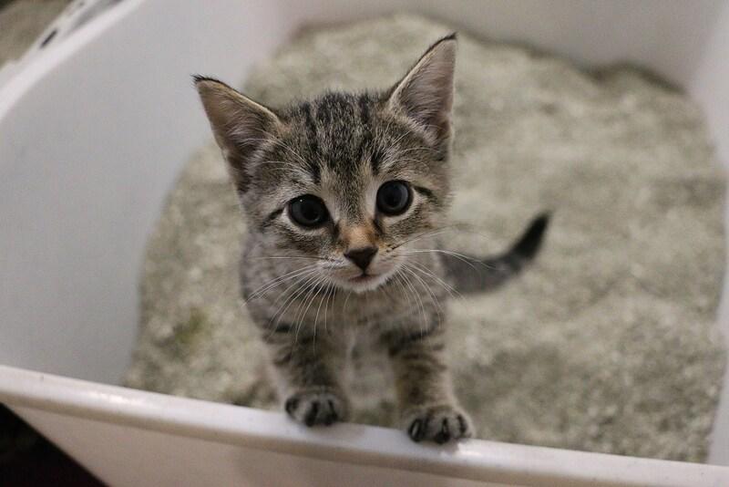 子猫用トイレおすすめ5選&しつけグッズ|獣医師が回数の目安やトレーニング方法を解説