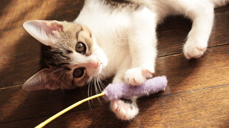 猫が喜ぶおもちゃ「猫じゃらし」のおすすめ人気商品15選|自動の電動タイプに手動の定番品も!遊び方も紹介