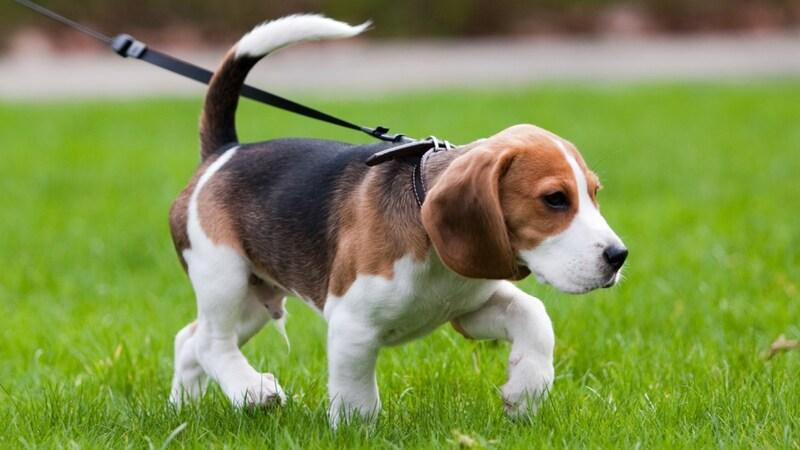 犬の散歩グッズおすすめ11選 子犬の散歩はいつから?時間やしつけ方法を解説!便利なバッグやライトも紹介