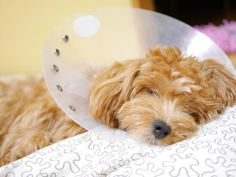 犬用エリザベスカラーのおすすめ人気ランキング10選❘タイプ別に特徴を解説!