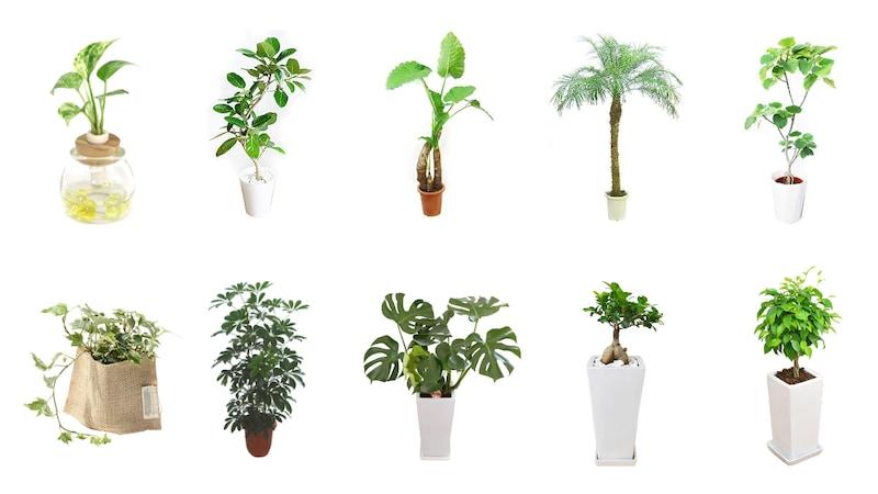 観葉植物おすすめ人気ランキング34選|インテリアに合うおしゃれな種類を紹介! 育て方や植え替えについても解説!
