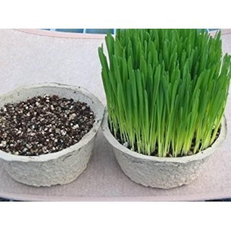 そのまんま猫の草,そのまんま猫の草 2鉢セット【獣医師おすすめ】