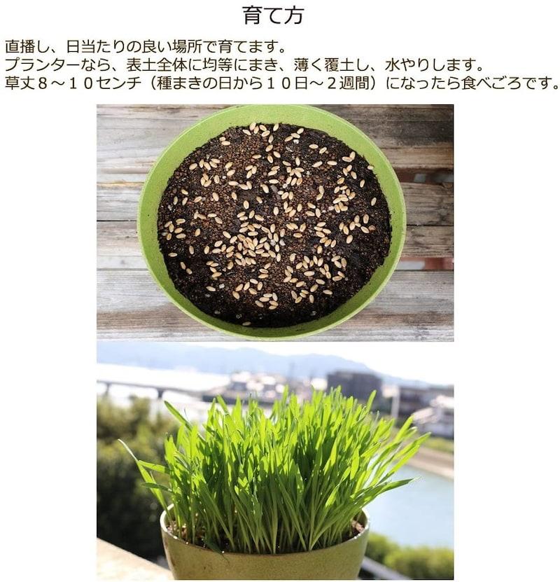 グリーンフィールド,有機種子 ねこ草