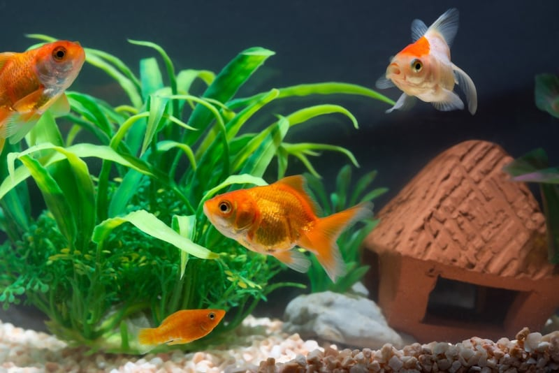 金魚の水草おすすめ人気ランキング10選 レイアウトは自由自在!