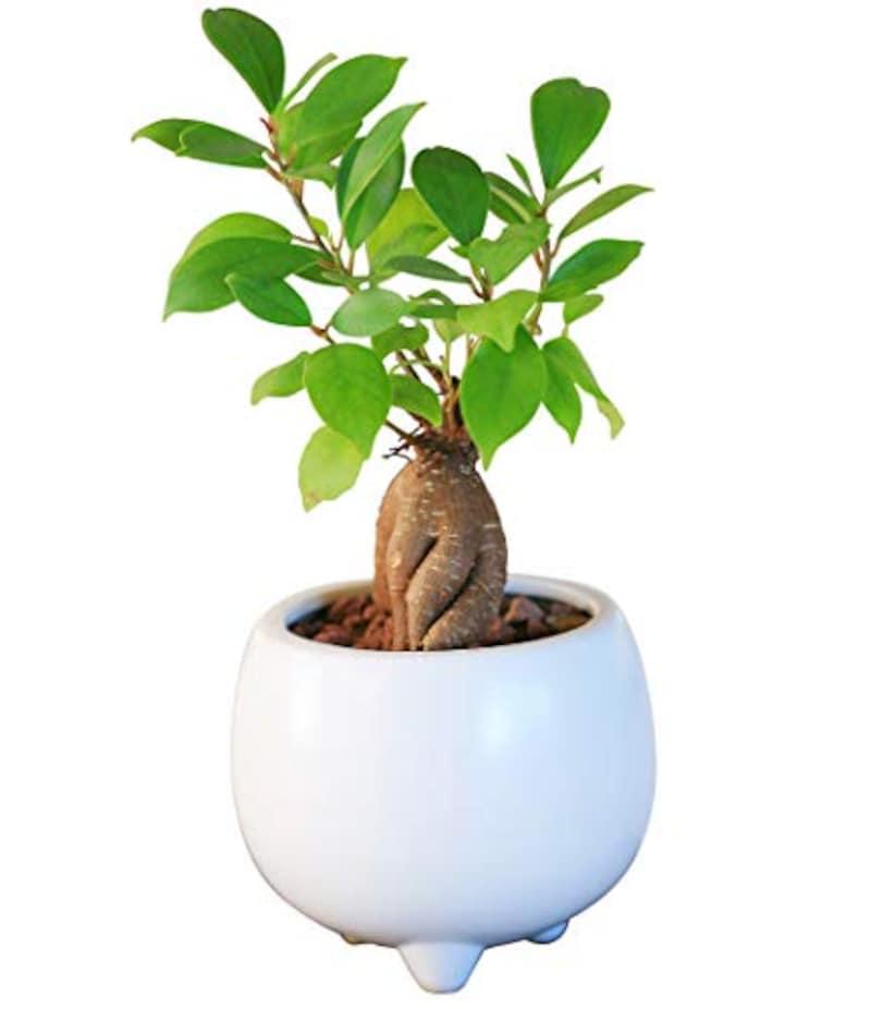 花のギフト社,ガジュマル陶器鉢植え ホワイト