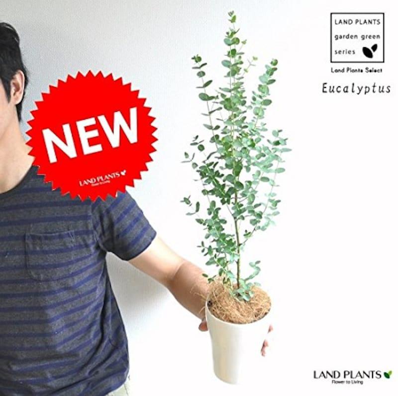 LAND PLANTS,ユーカリ 4号鉢