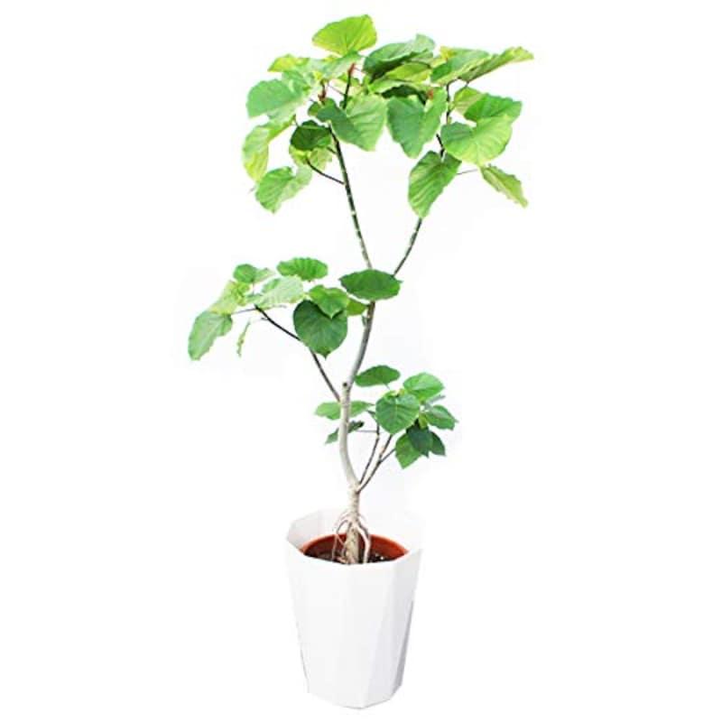 観葉植物のパーフェクトグリーン,フィカス ウンベラータ ゴムの木  10号