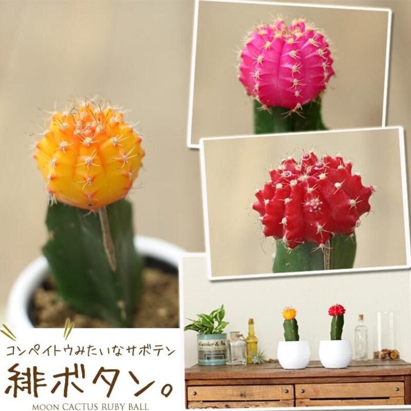 e-花屋さん,カラフルなサボテン 緋牡丹(ヒボタン),otamesi-06b-102s-13