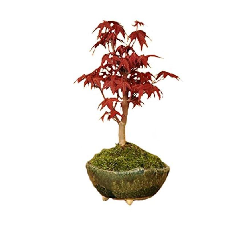 遊恵盆栽,小品盆栽 出猩々もみじ,my0897