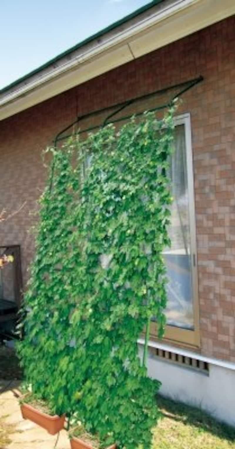 DAMI,緑のカーテン アーチ de 立掛けワイド1800