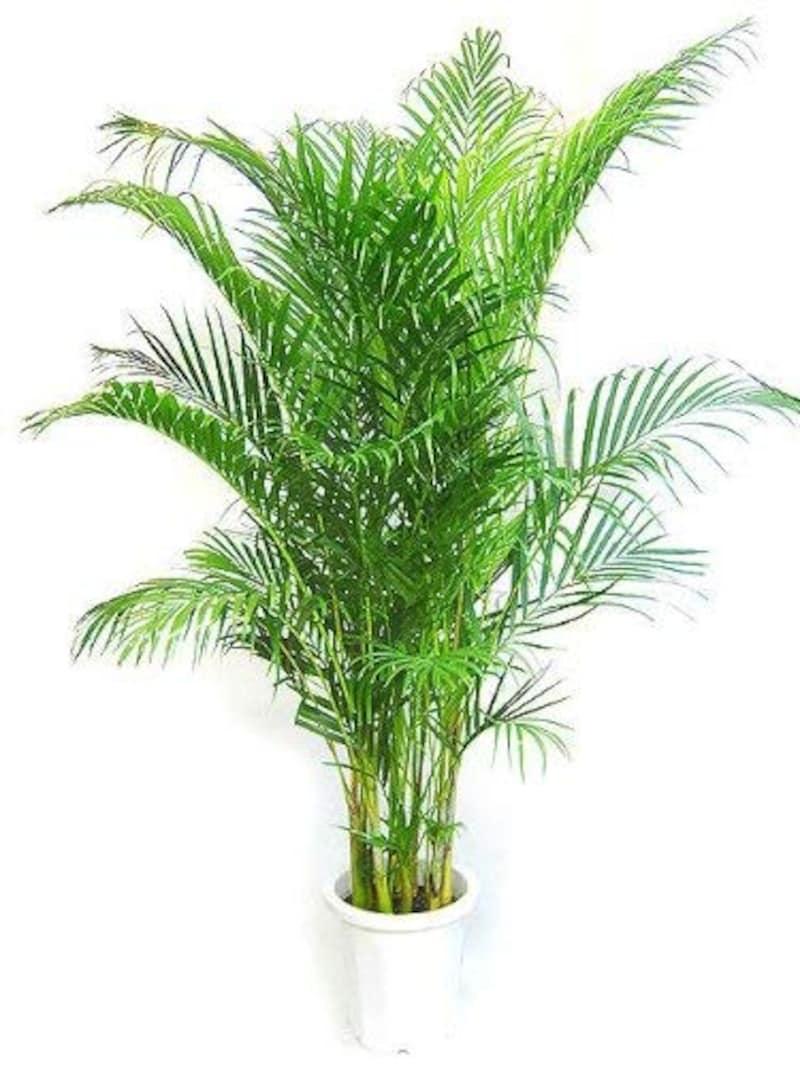 MAKIMO PLANT,アレカヤシ