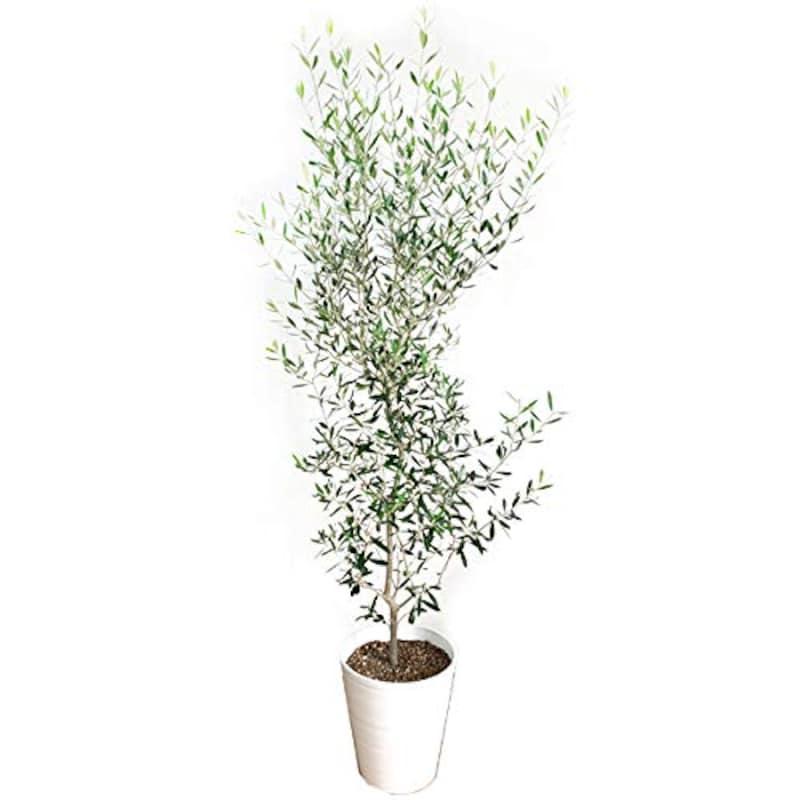 観葉植物のパーフェクトグリーン,オリーブの木