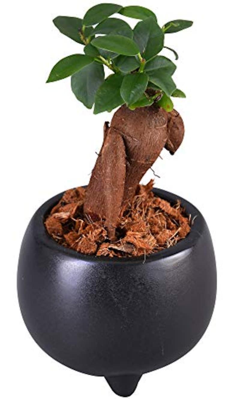 花のギフト社,ガジュマルの木
