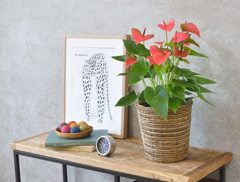 観葉植物の専門店 彩植健美,アンスリウム ロイヤルピンクチャンピオン