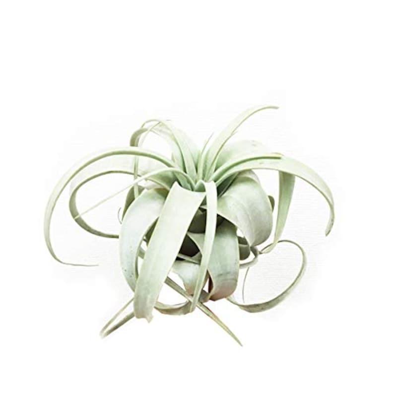 観葉植物のパーフェクトグリーン,チランジア・キセログラフィカ,kisero15