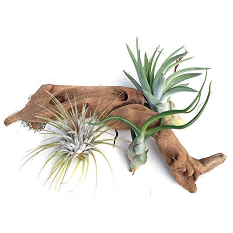観葉植物のパーフェクトグリーン,エア-プランツ・硬質系流木 1セット