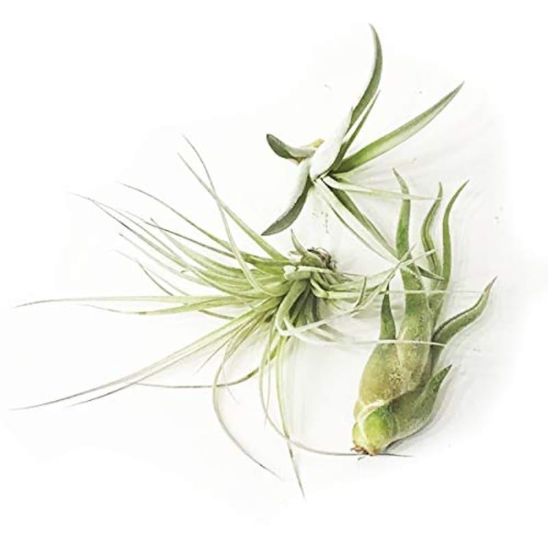 観葉植物のパーフェクトグリーン,エアプランツ チランジア おまかせ3種類セット
