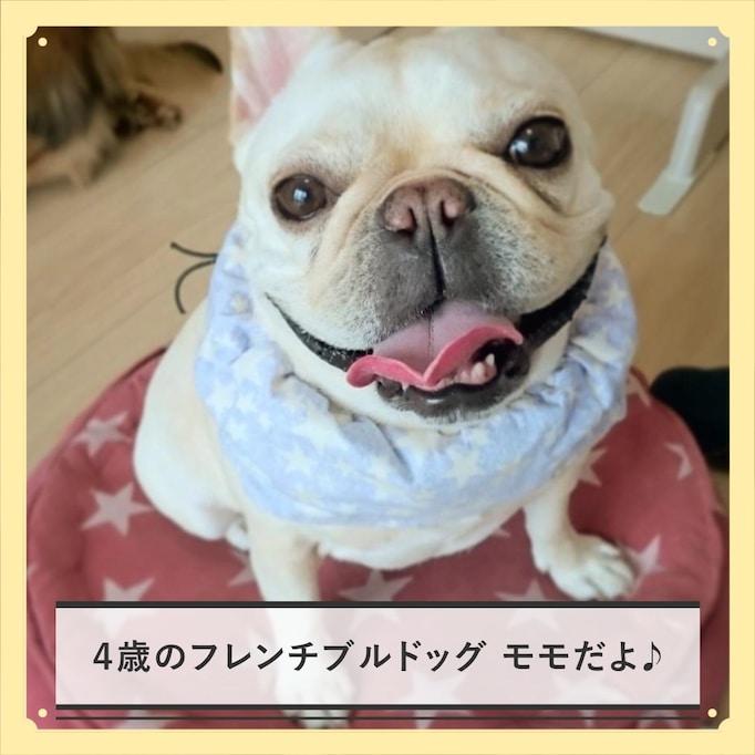 【チルスタ!!】フレンチブルドッグ・モモさんの気だるげな日常