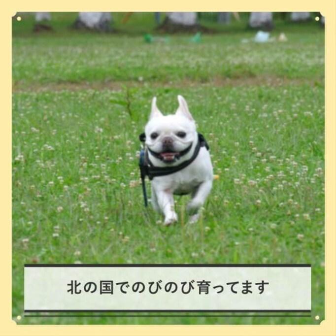 【チルスタ!!】フレンチブルドッグうめ太ののびのび生活