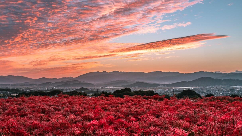 奈良で撮影された彼岸花の絨毯…その光景が美しすぎると話題に!