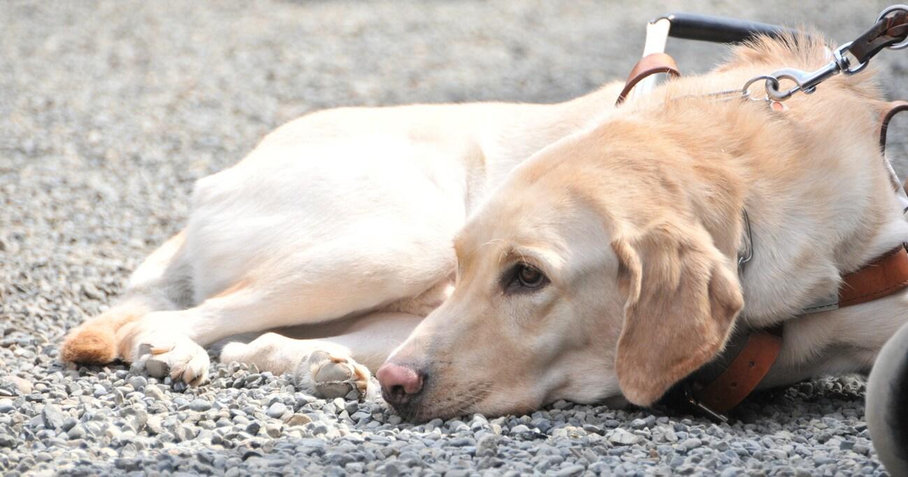 【知ってほしい】街で盲導犬を見かけても、話しかけたり触ったりするのはNG!その理由とは?
