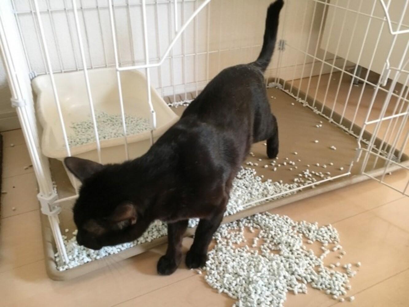 猫砂を撒き散らす猫