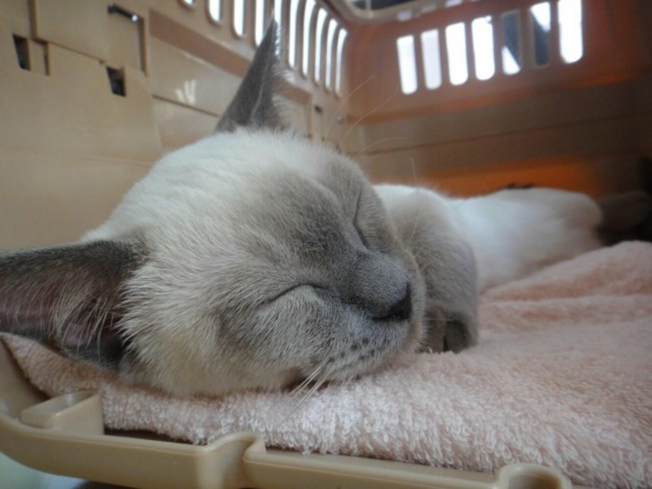 キャリーバッグの中で眠る猫