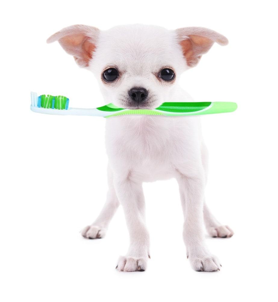 歯ブラシをくわえたチワワ