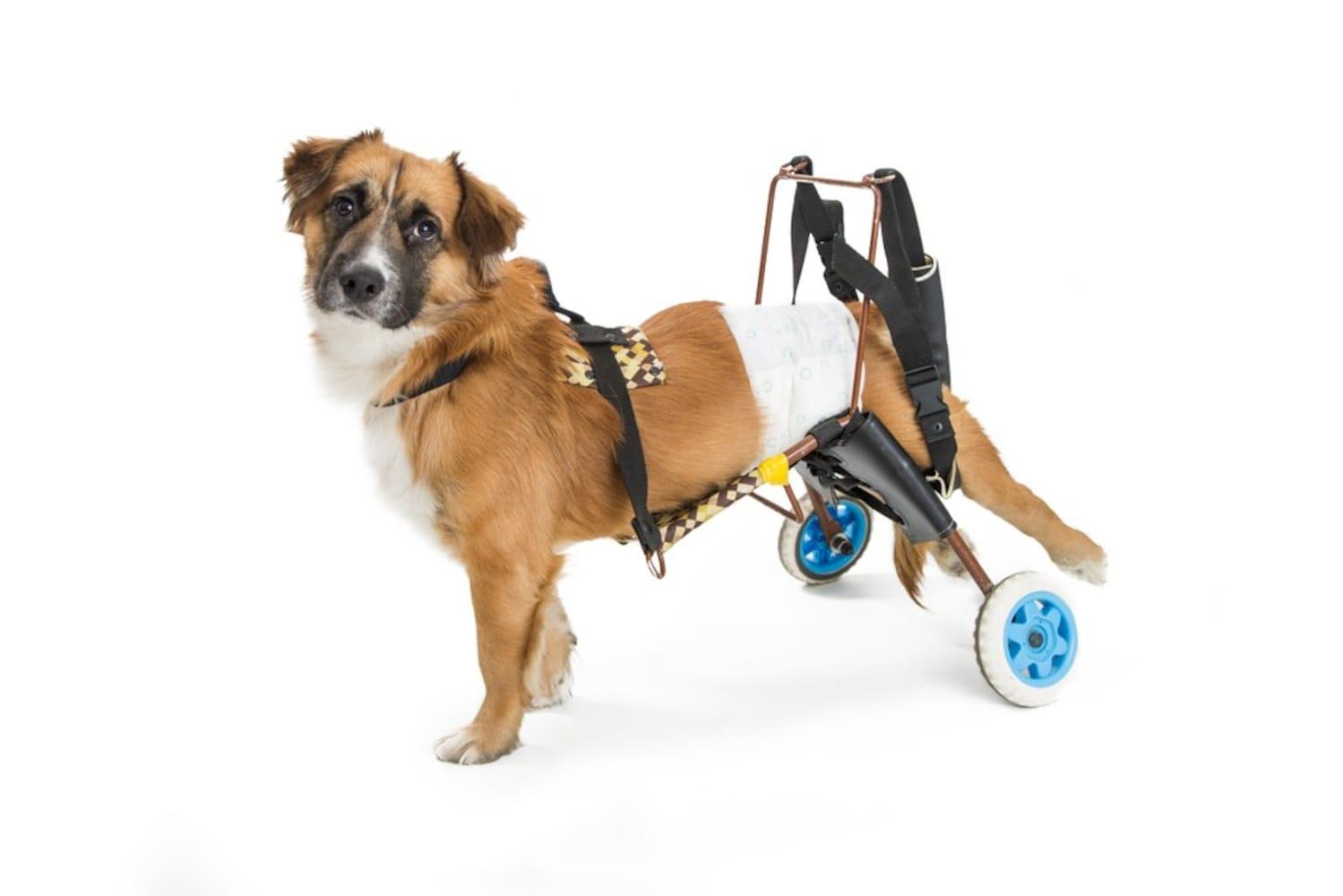 犬用車椅子に乗った犬
