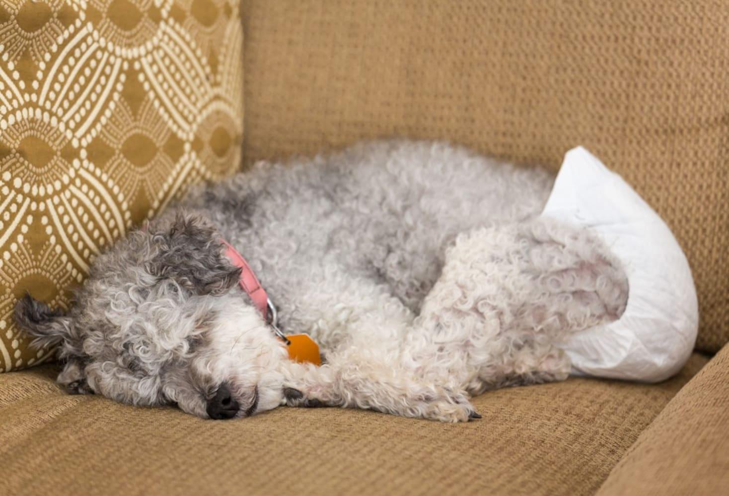 おむつを付けて寝ている犬