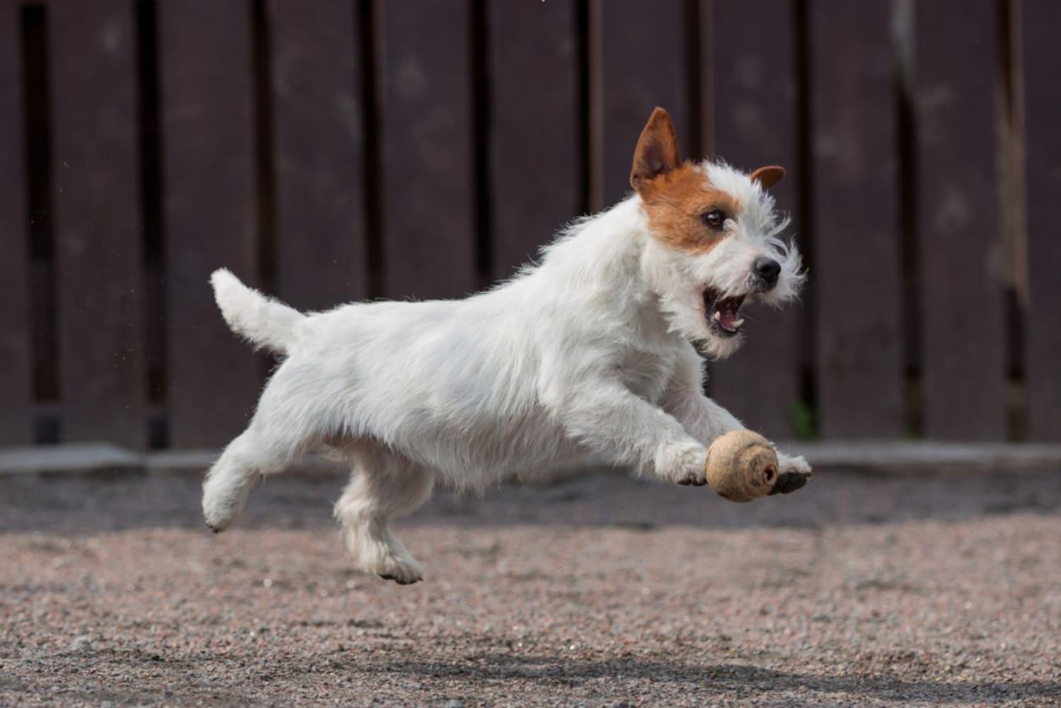 ジャンプしている犬